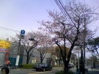 sakura (1).JPG