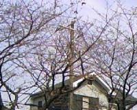 桜つぼみ2.JPG
